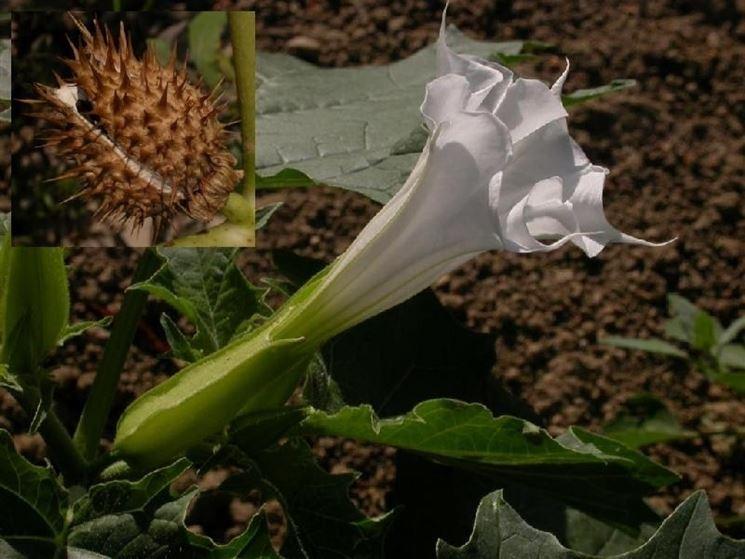 Frutto e fiore dello stramonio