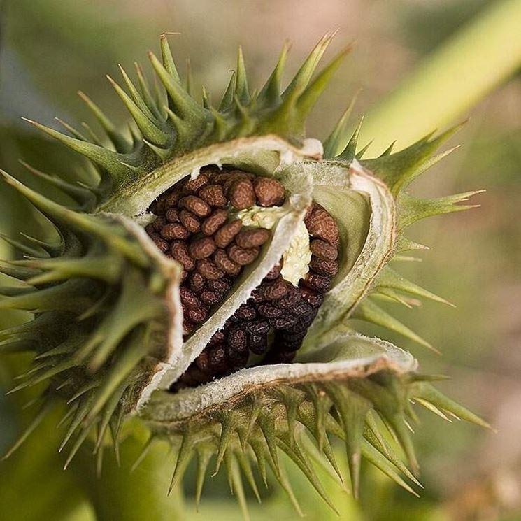 Frutto con semi di stramonio