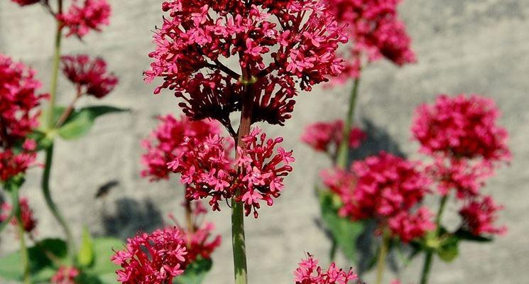 Valeriana rossa piante perenni valeriana rossa piante perenni