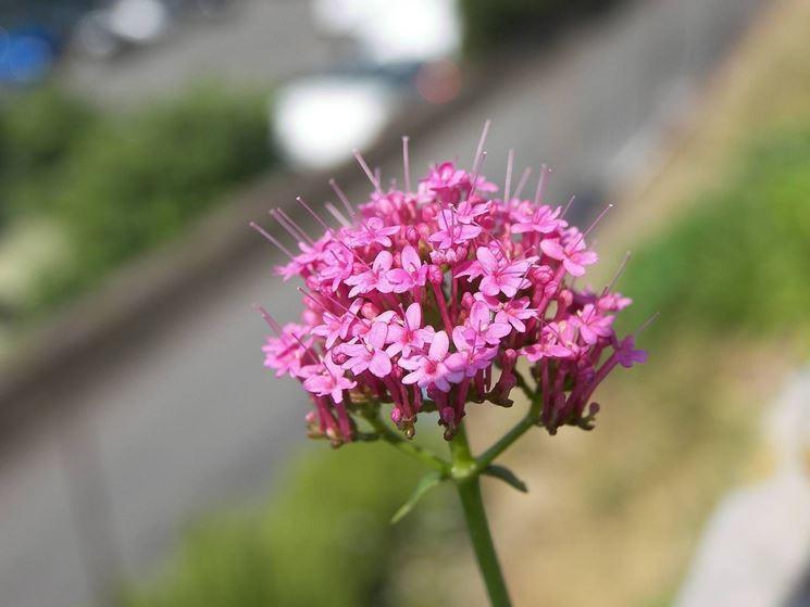 Fiore della valeriana rossa di color rosa