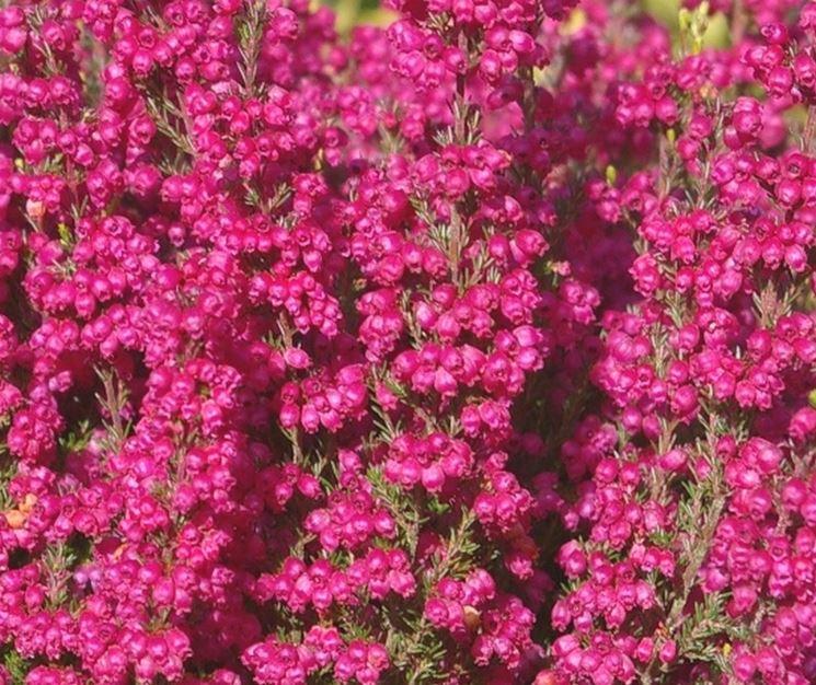 Fiore erica