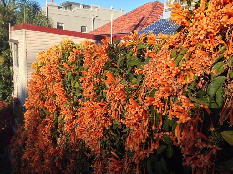 Esemplare pianta rampicante