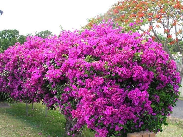 bouganville fiorite