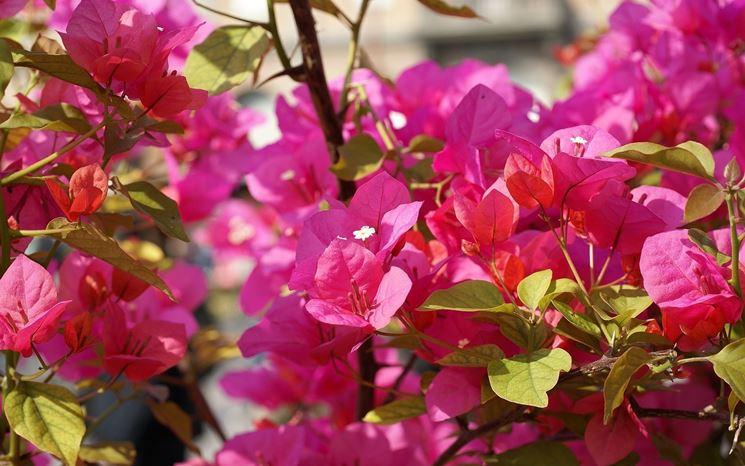 Splendida immagine di buganville in fiore, dal classico colore fucsia
