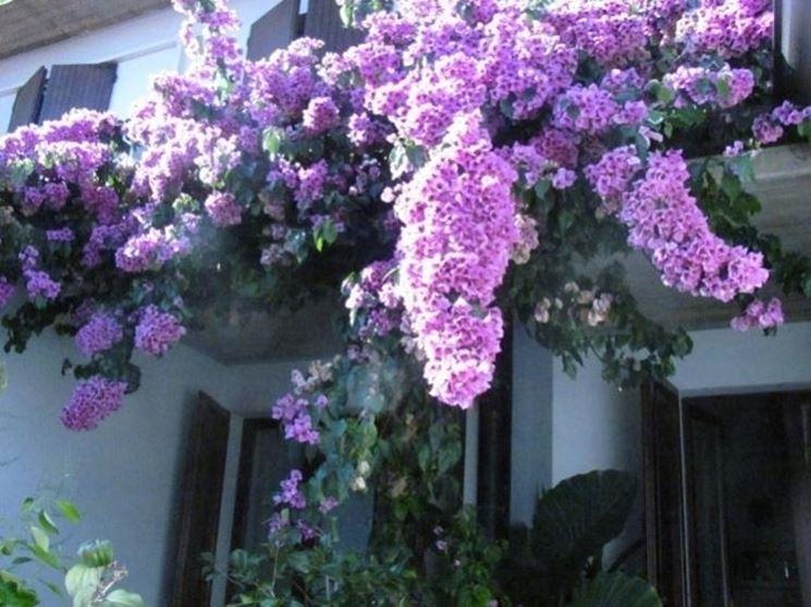 Bouganville di colore lilla