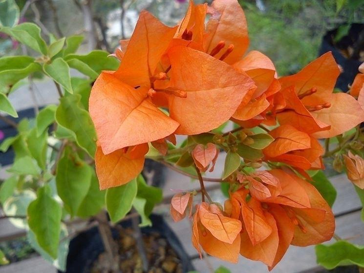 Bouganville dai fiori arancioni