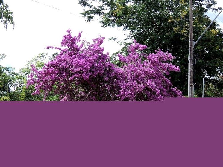 Una bellissima Bougainvillea spectabilis in fiore