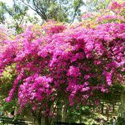 bouganville fiori