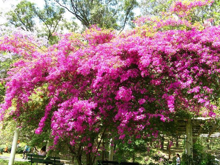 Bouganville rampicanti bouganville pianta for Piante rampicanti da esterno