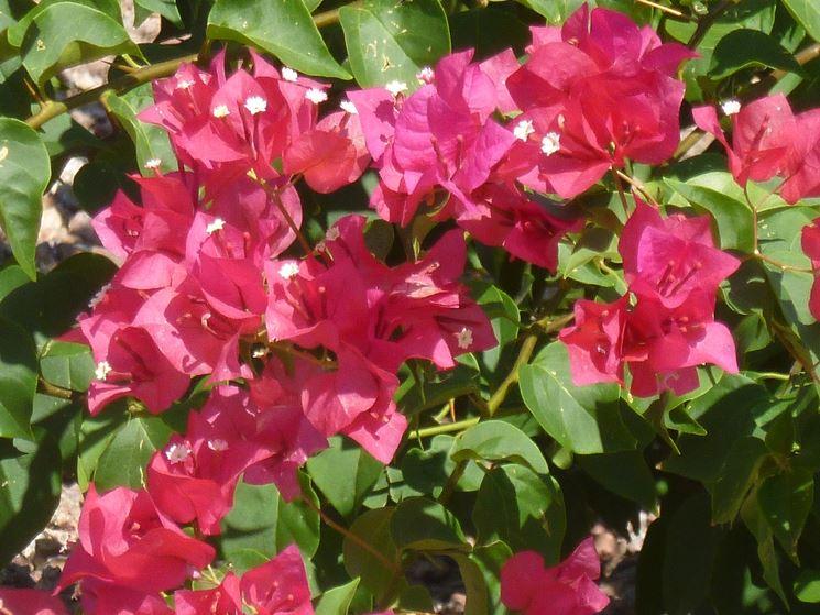 Bouganville rampicanti bouganville pianta for Bougainvillea bonsai prezzo