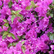 Bouganville rampicanti bouganville pianta for Bouganville fioritura