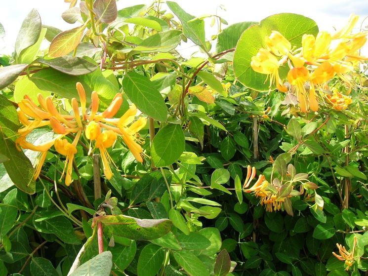 Pianta e fiori di Caprifoglio