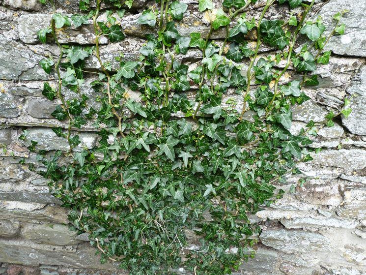 Coltivare l 39 edera rampicanti come coltivare l 39 edera for Piante rampicanti in vaso