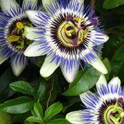 pianta passiflora