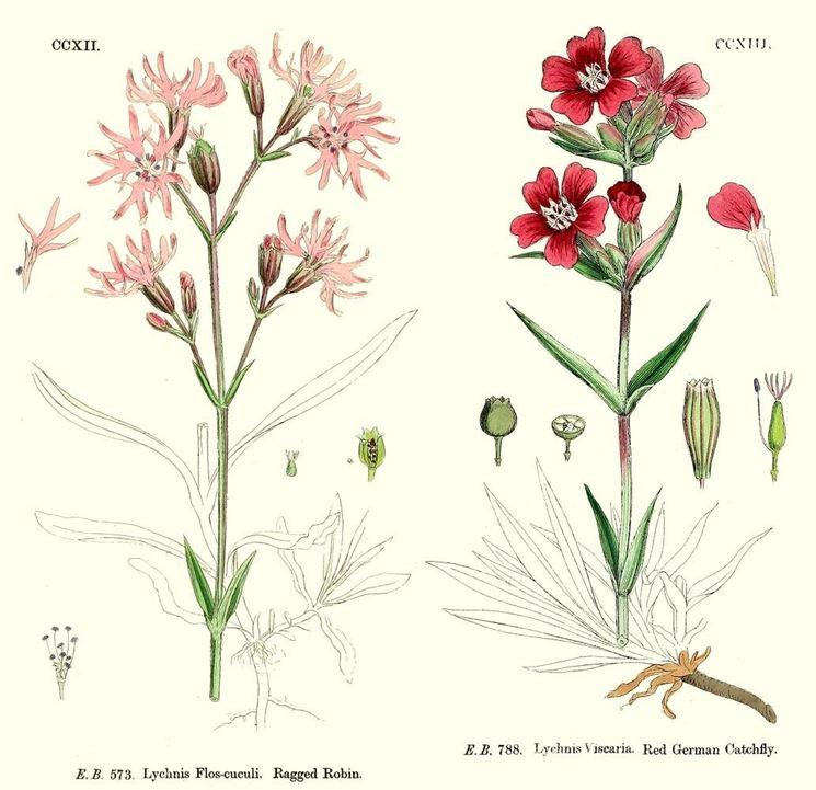 Disegno botanico di Lychnis flos cuculi e di Lychnis viscaria