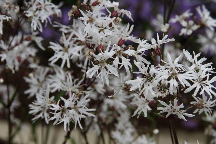 Esemplare di cuculide rampicante con fiori di colore bianco