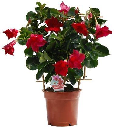 Fiori e foglie di Dipladenia Sundaville Rose Star