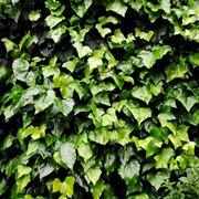 Un folto rivestimento di edera