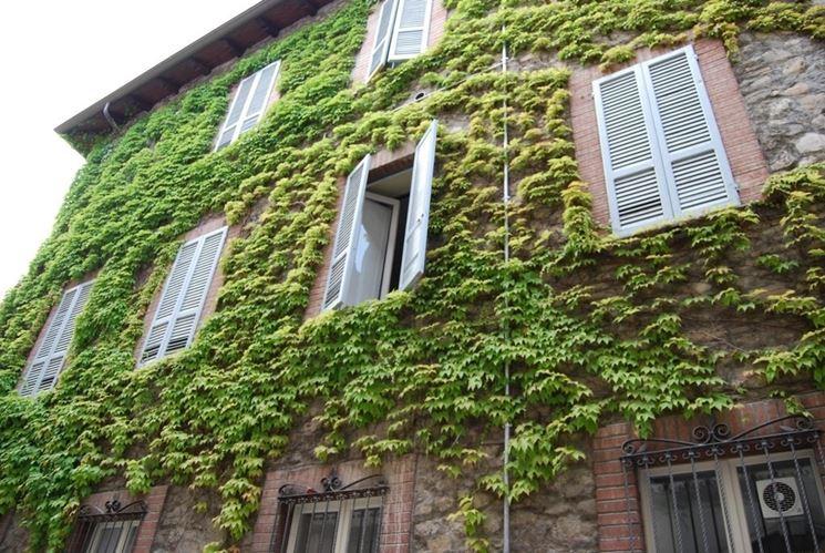 Edera rampicante rampicanti caratteristiche dell 39 edera for Piante da giardino rampicanti