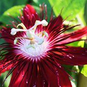 Un esemplare di fiore della passione