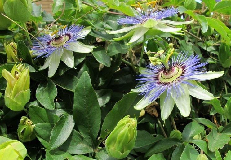 Un esemplare di passiflora cerulea
