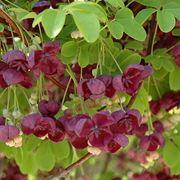 akebia quinata fiorita