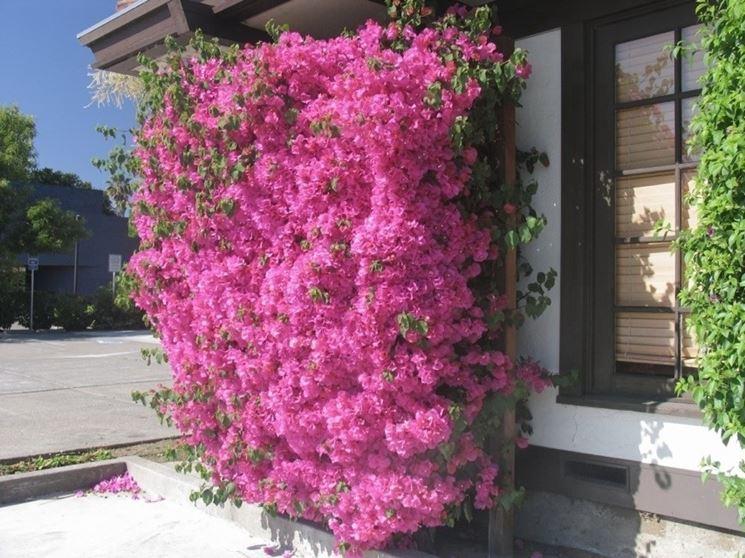 Fiori elenco rampicanti elenco fiori for Bouganville in vaso