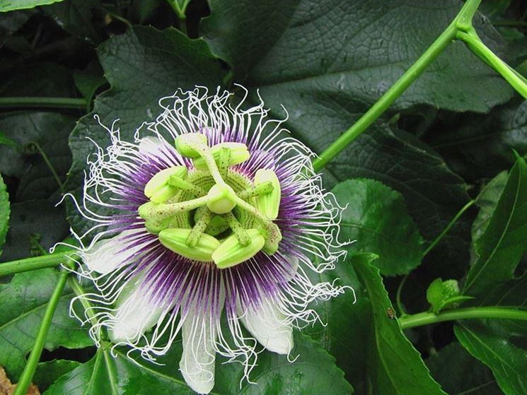 Frutto della passione, fiore.