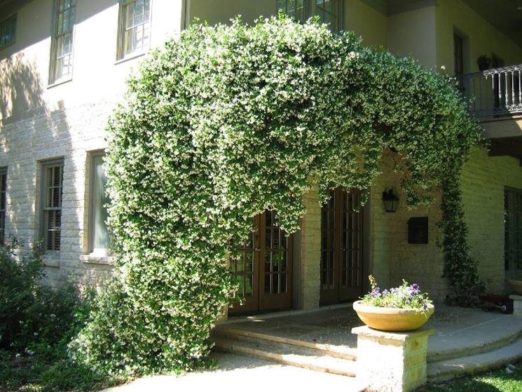 Una <em>pianta di gelsomino</em> adorna l'ingresso di una casa