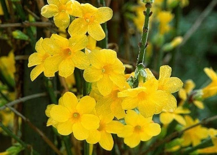 Il gelsomino nudiflorum dai fiori gialli