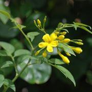 Pianta di Jasminum humile
