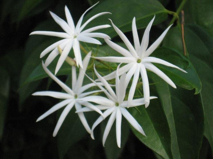 Fiori di Jasminum nitidum