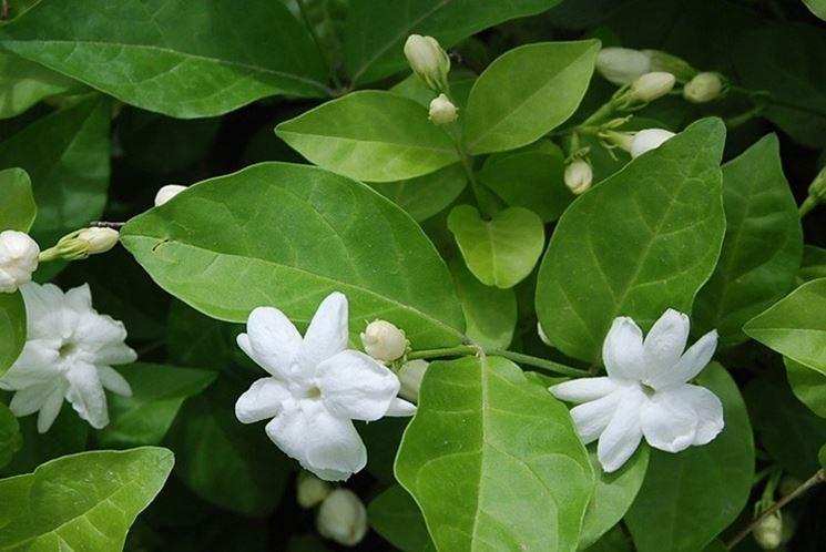 Gelsomino pianta rampicanti pianta di gelsomino for Pianta rampicante con fiori viola a grappolo