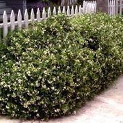 Gelsomino sempreverde