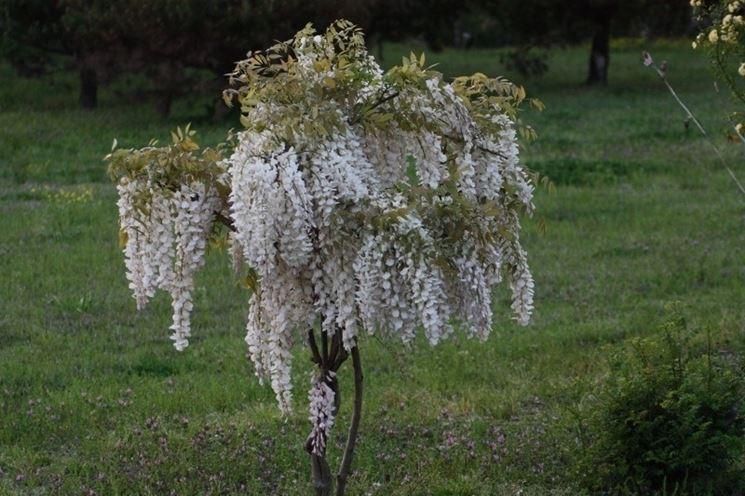 Glicine bianco coltivato ad alberello