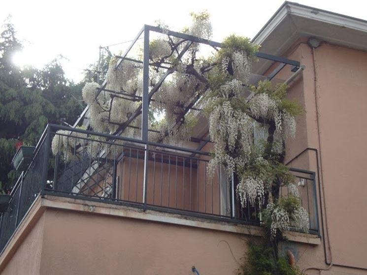 Glicine bianco coltivato sul balcone