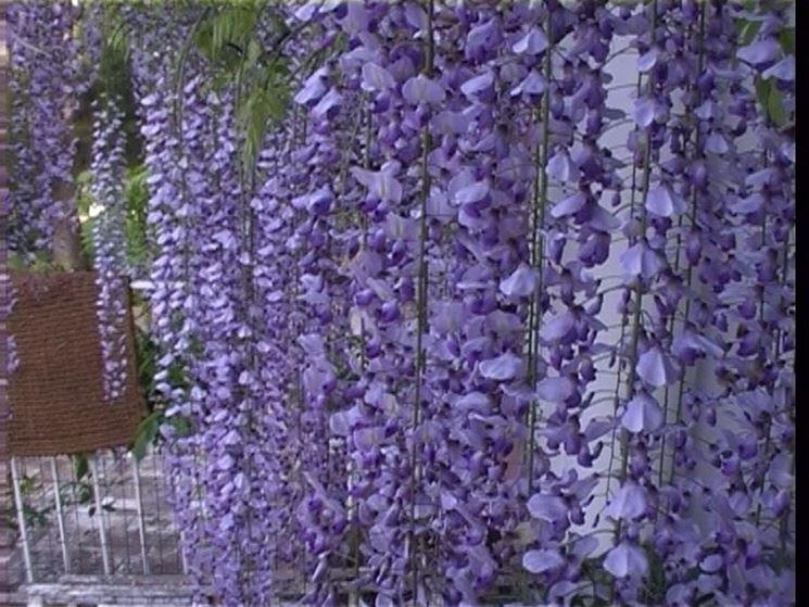 grappoli fiori viola