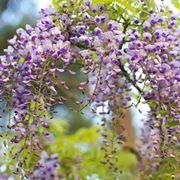 fiori di glicine