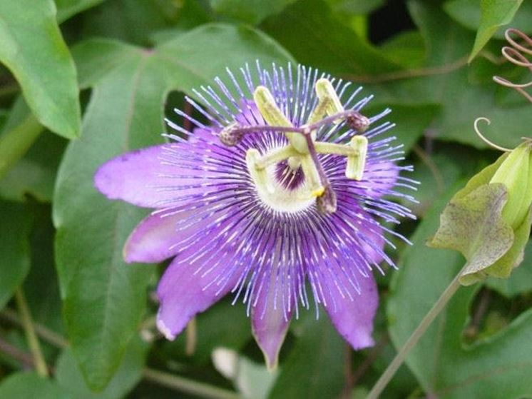 particolare fiore di passiflora