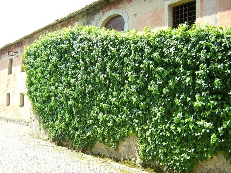 La pianta rampicante rampicanti la pianta rampicante for Piante da giardino rampicanti