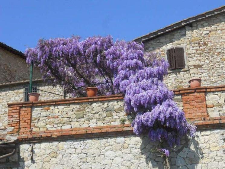 La pianta rampicante rampicanti la pianta rampicante for Terrazzi con piante e fiori