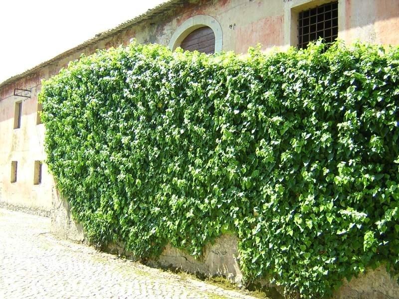 La pianta rampicante rampicanti la pianta rampicante - Sempreverde da giardino ...