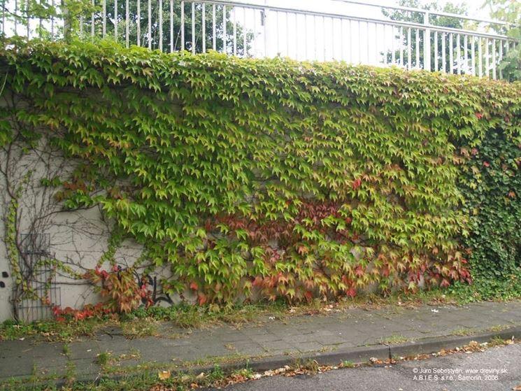Foglie di Parthenocissus tricuspidata