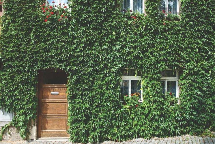 Parthenocissus tricuspidata su parete