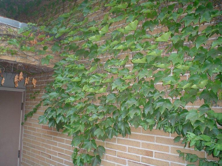 Muro con rampicante di Parthenocissus tricuspidata