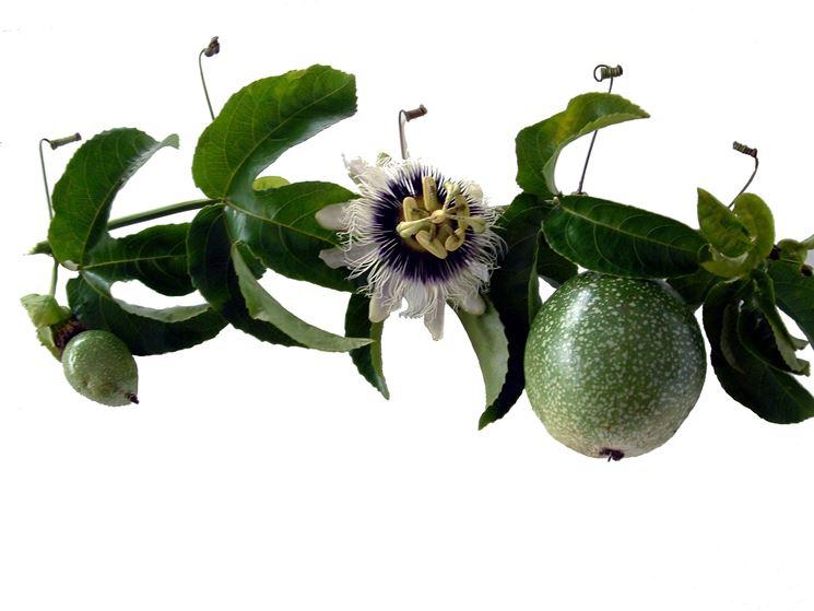 Fiori e frutti della passiflora