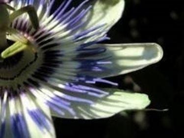 passiflora1