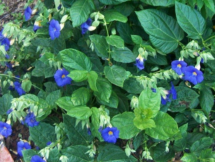 Piante e fiori di Thunbergia