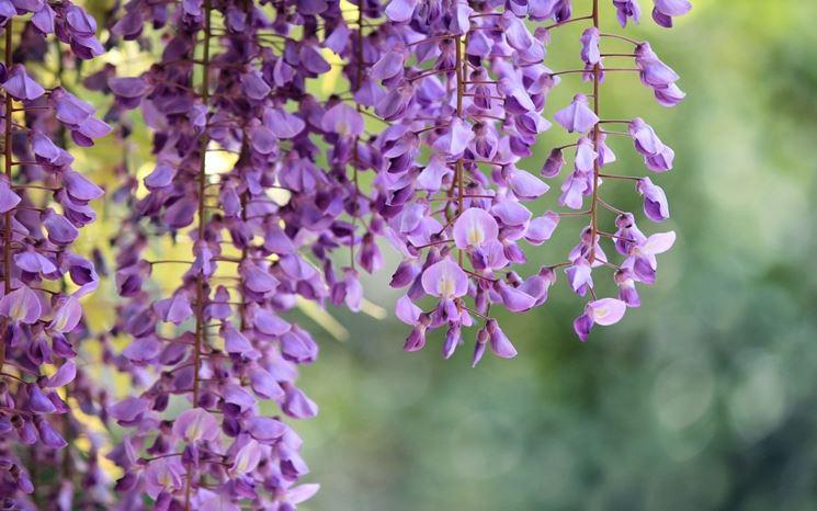 Fiori della pianta rampicante di Glicine