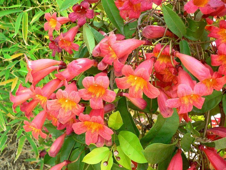 Infiorescenze della pianta di Bignonia